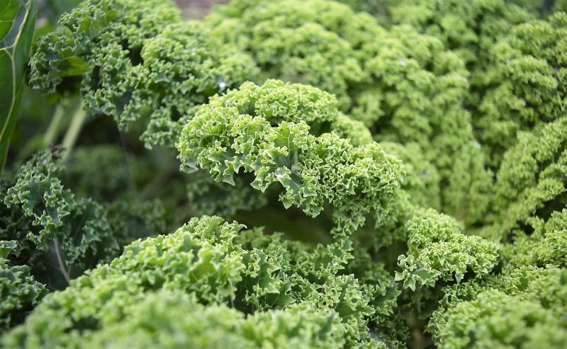 Escarola Características, beneficios y propiedades medicinales Planta