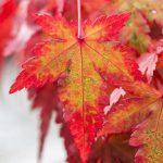 Acer atropurpureum Características, cultivo, cuidados, floración Árbol