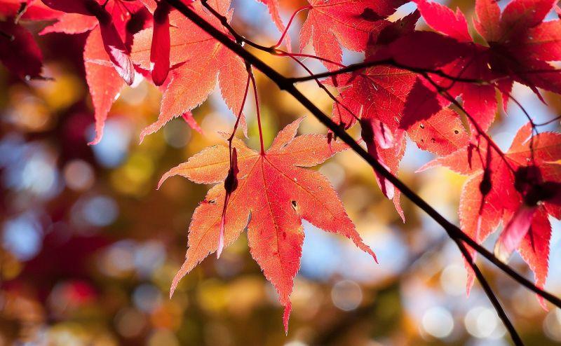 Acer palmatum Características, variedades, cuidados, usos Planta