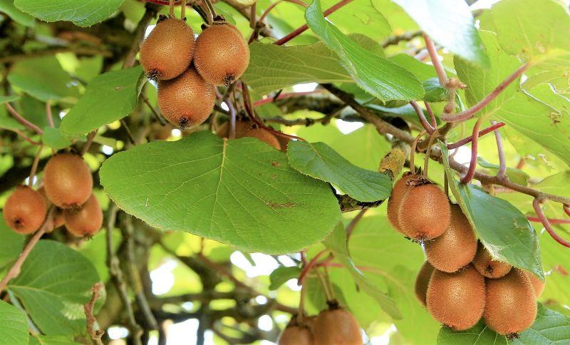 Actinidia deliciosa Características, cultivo, propiedades, beneficios Kiwi