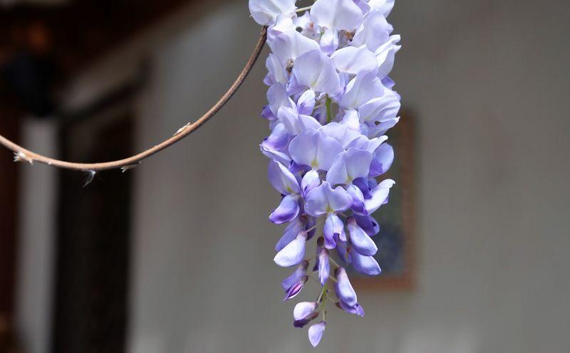 La wisteria sinensis
