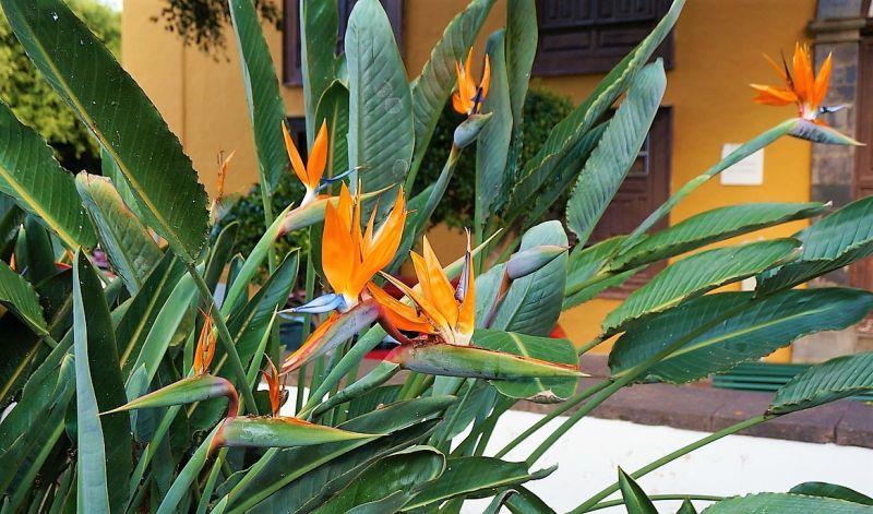 Strelitzia reginae Características, cuidados, cultivo, origen Planta