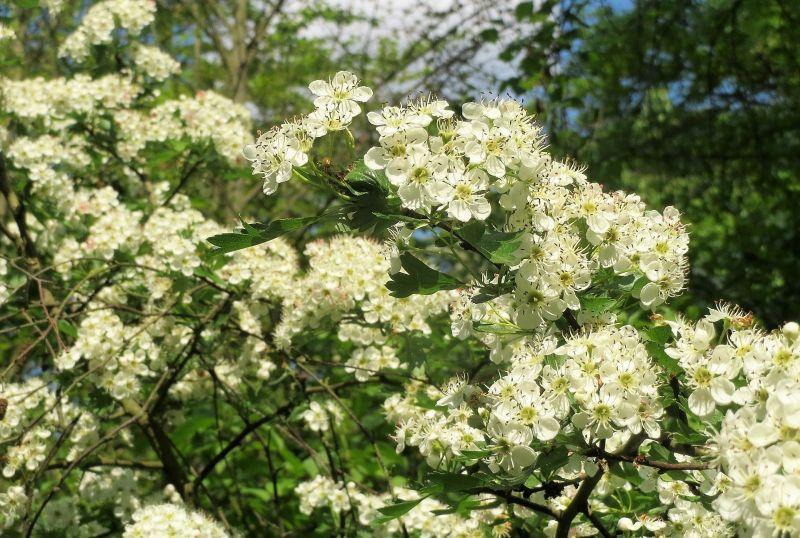 Espino | Qué es, características, beneficios y propiedades, usos | Árbol