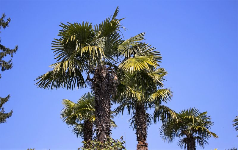 La trachycarpus fortunei