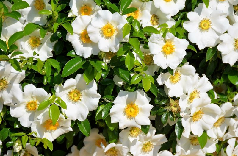 Los arbustos con flores