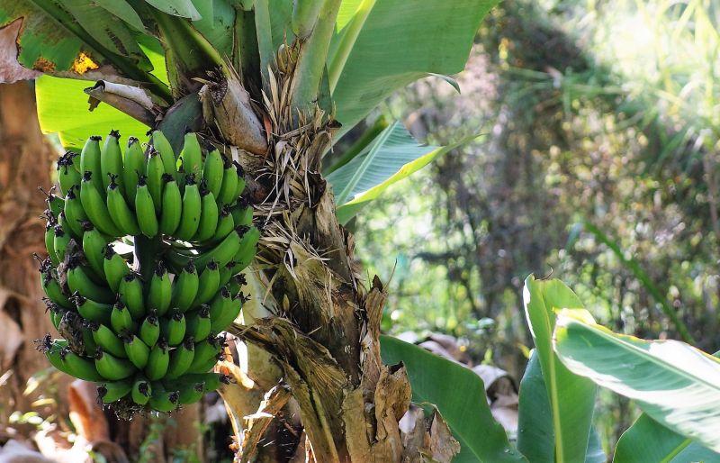 Plátano Descripción, características, distribución, hábitat Planta y fruta