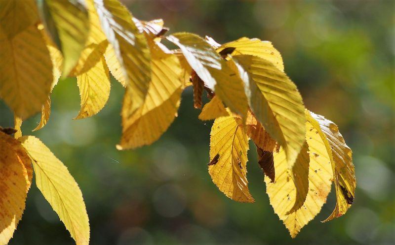 hojas caducifolias