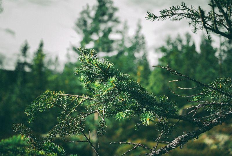 Árbol perennifolio