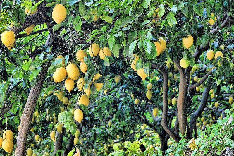 Árboles frutales Qué son, tipos, cultivo, ideales para casa, curiosidades