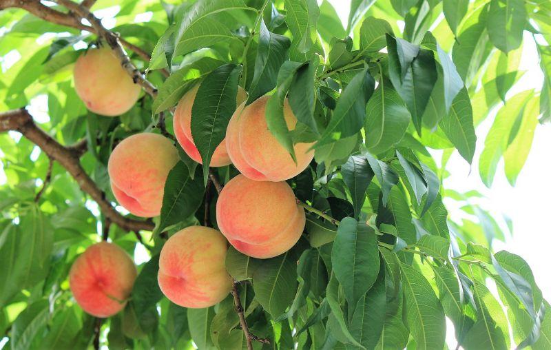 Rboles frutales qu son tipos cultivo ideales para for Tipos de arboles para plantar en casa