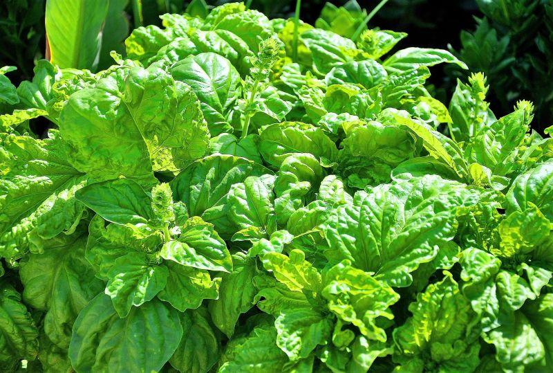 Plantas aromaticas de jardin plantas aromticas el for Plantas aromaticas de interior