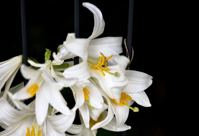 Azucena Características, cultivo, beneficios y propiedades medicinales