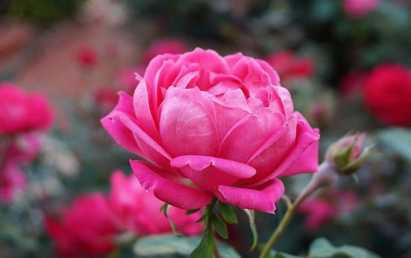 Rosa Qué es, identificación, características, colores, cuidados Flor