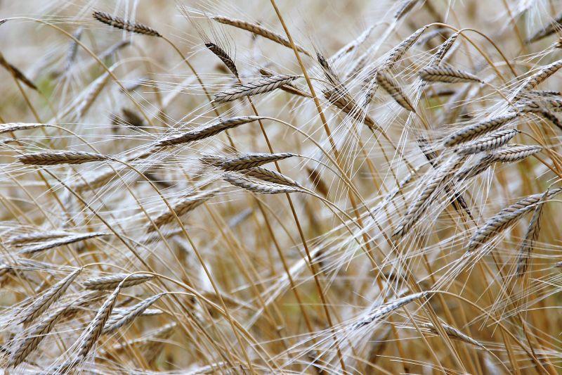 Agricultura de secano Qué es, definición, ventajas, desventajas, impacto