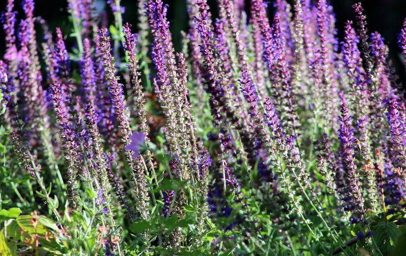 Salvia Qué es, composición, usos, beneficios, propiedades Planta
