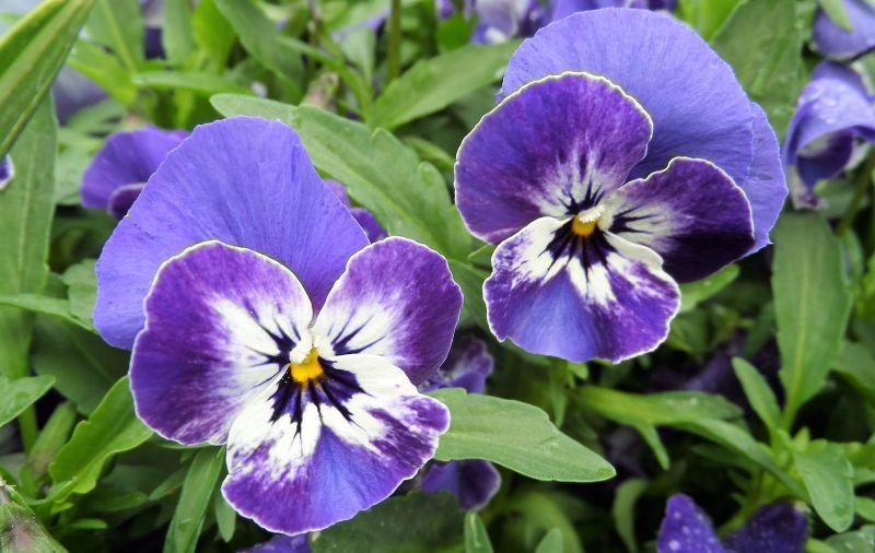 Viola Qué es, características, tipos, cuidados, cultivo, usos Planta, flor
