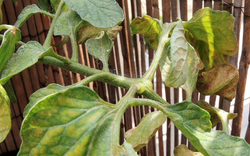 Araña roja Qué es, características, tratamiento, cómo combatir Plantas