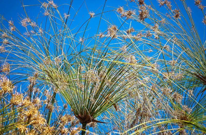 Cyperus papyrus Características, cultivo, cuidados, variedades Papiro