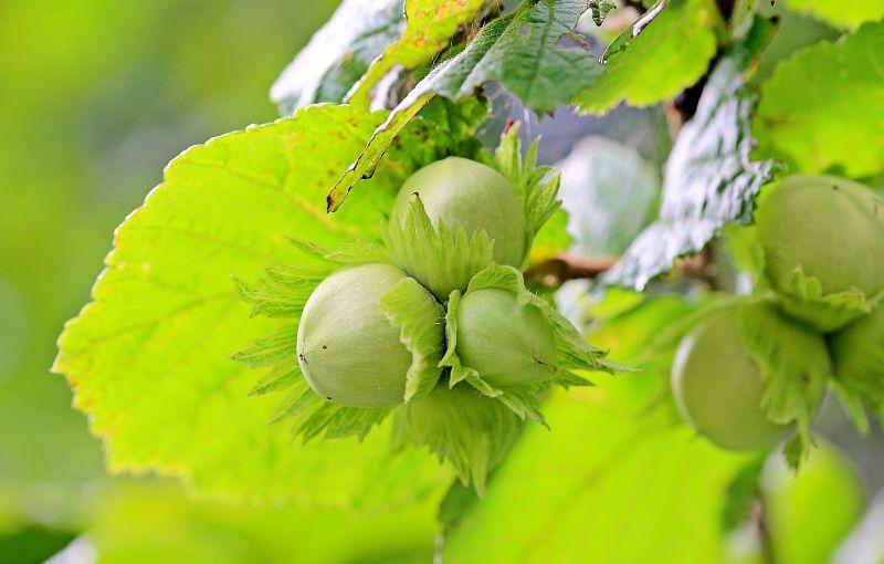 Corylus avellana Características, hábitat, variedades, usos Árbol