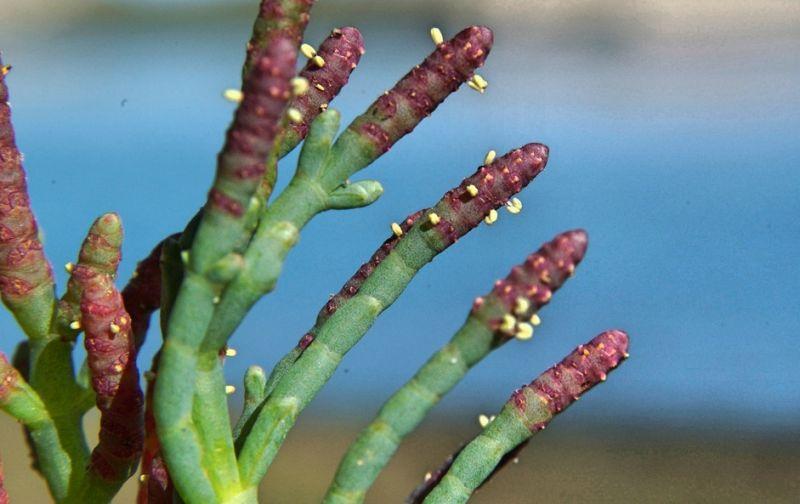 La salicornia