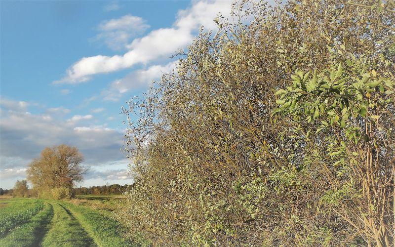 Salix alba Características, hábitat, reproducción, uso medicinal Árbol