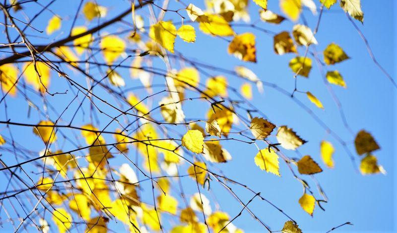 Betula pendula Características, hábitat, propiedades, usos, curiosidades
