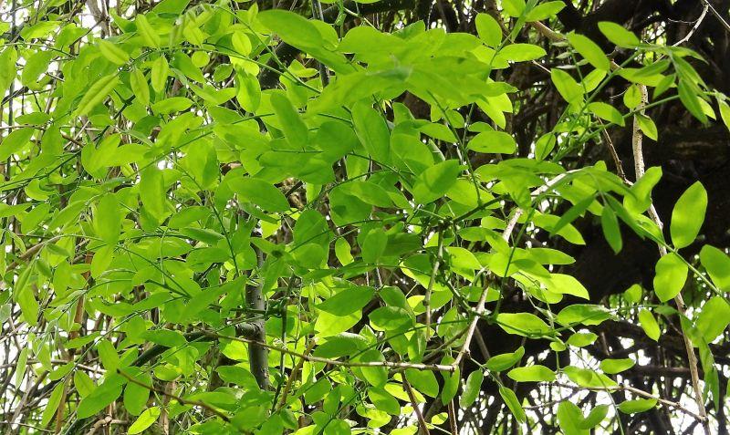 El Sophora japonica