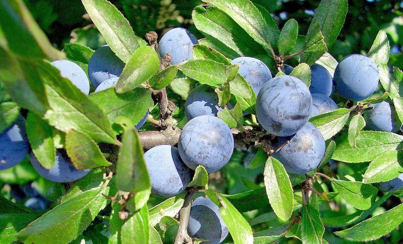 El prunus spinosa, fruto