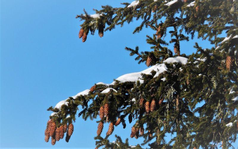 Picea abies Características, hábitat, localización, historia Árbol, hojas