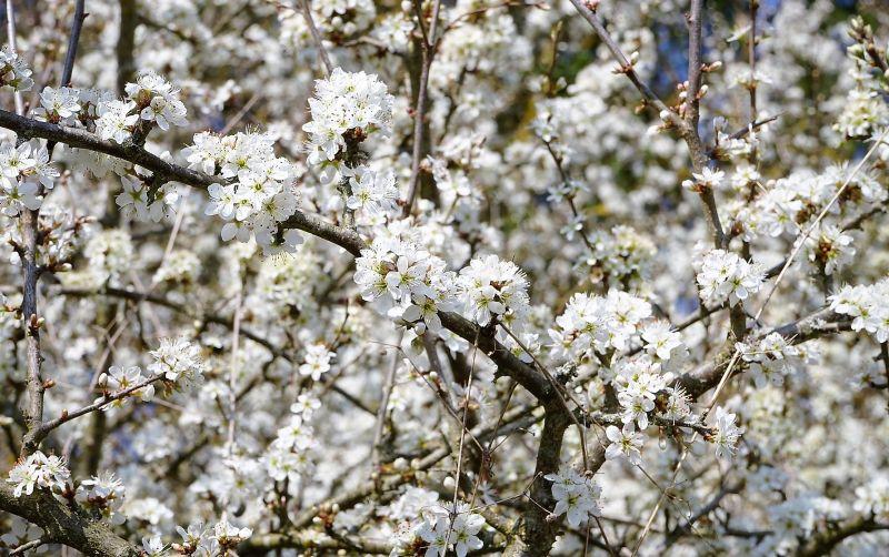 Prunus spinosa Características, hábitat, cultivo, fruto, usos, plagas Árbol