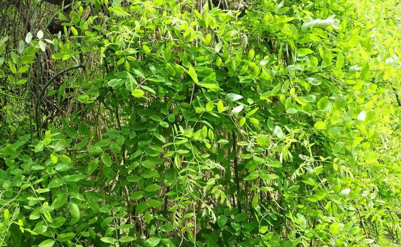 Sophora japonica Características, flores, frutos, usos, cultivo Árbol