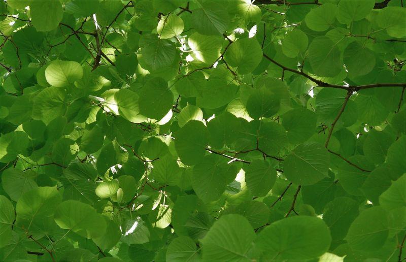 Tilia tomentosa Características, hábitat, reproducción, usos Árbol, planta