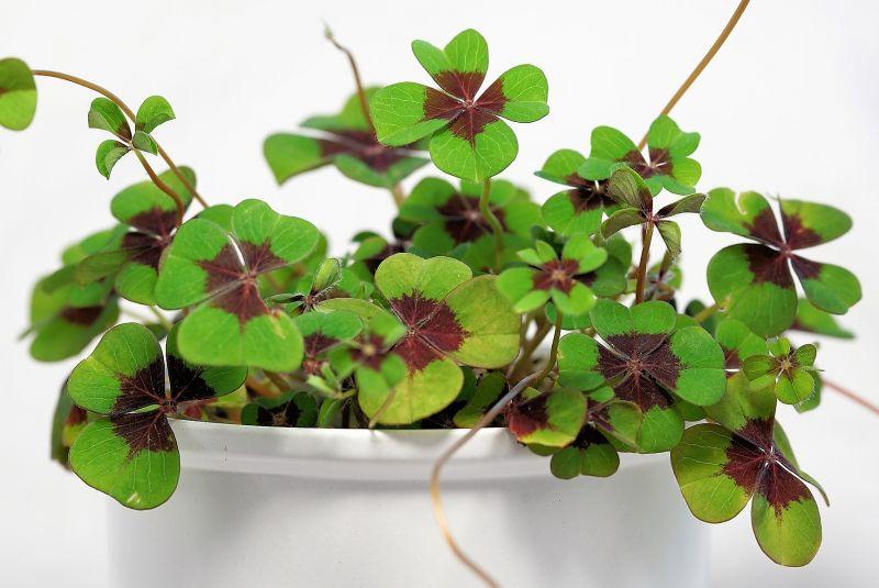 Trébol de cuatro hojas Qué es, uso, relación con la suerte, conseguir uno