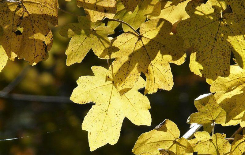 Acer campestre Características, hábitat, cuidados, propiedades Árbol