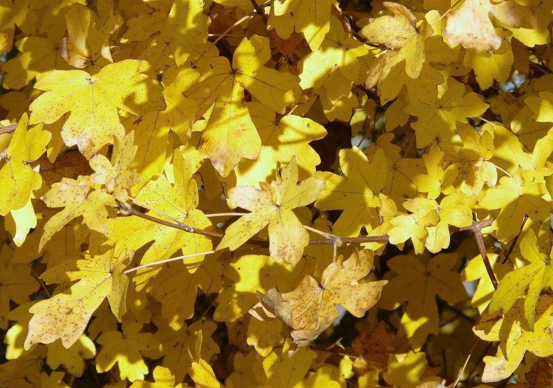 Acer pseudoplatanus Qué es, características, reproducción, usos Árbol