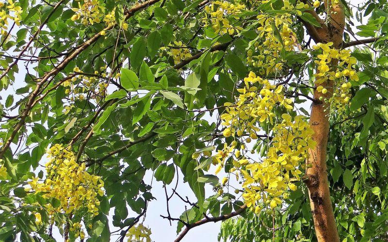 Cassia fistula Qué es, características, reproducción, usos, cultivo Árbol