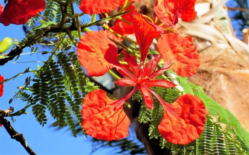 Delonix regia Características, semillas, reproducción, cuidados Árbol