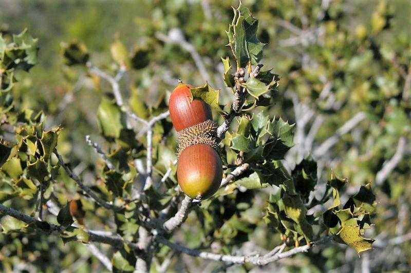 El Quercus Coccifera