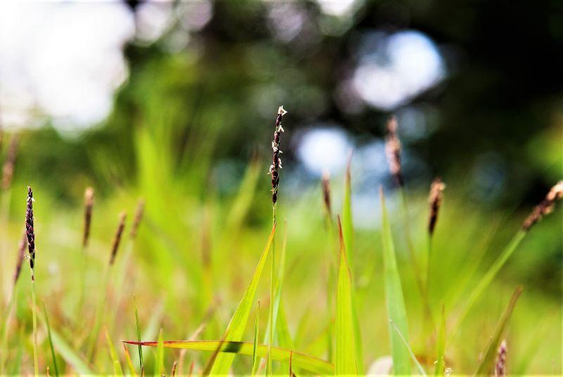 La zoysia japonica