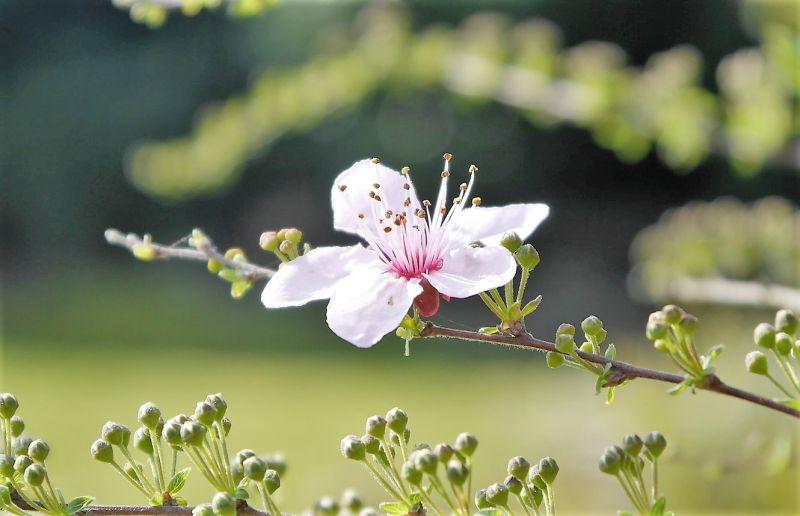 Prunus cerasifera Características, cultivo, reproducción, plagas Árbol