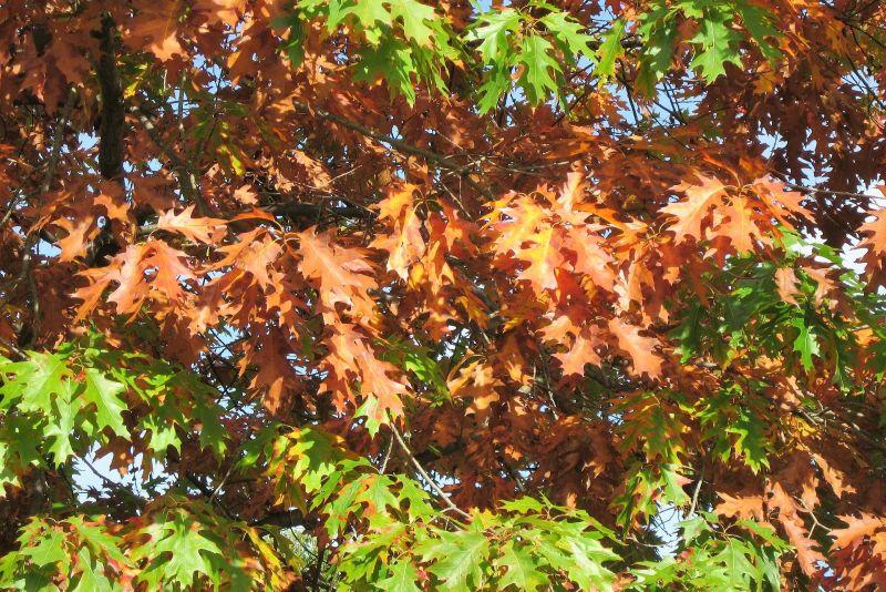 Quercus rubra Características, hábitat, cuidados, crecimiento Árbol