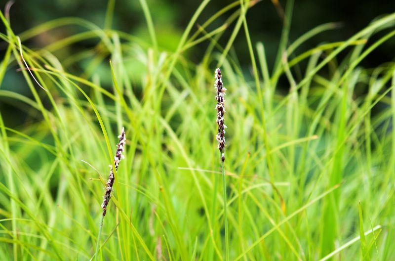 Zoysia japonica Características, variedades, uso, historia Cesped