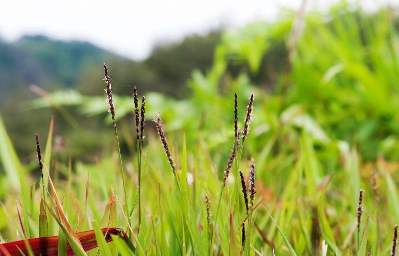 Zoysia japonica