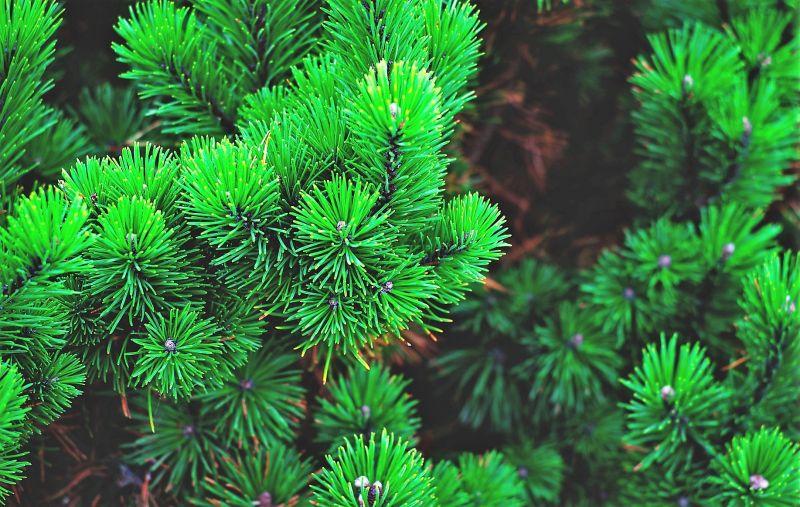Árboles ornamentales Características, variedades, usos, adaptación