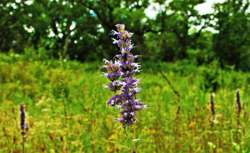 Agastache Características, hábitat, usos, tipos Plantas
