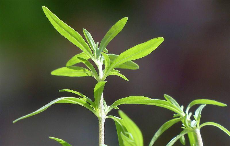 Ajedrea Características, cultivo, tipos, reproducción, usos Arbusto
