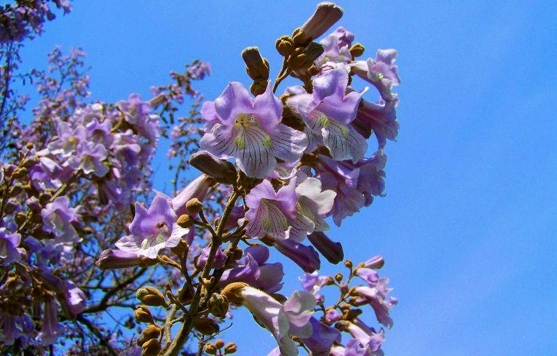 El árbol kiri