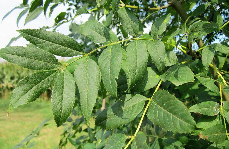 Fraxinus excelsior Características, hábitat, reproducción, usos Árbol
