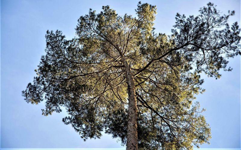 Pinus pinaster Características, hábitat, usos, propiedades medicinales