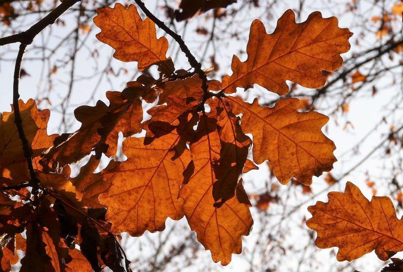 Quercus petraea Características, hábitat, usos, fruto, flores, Árbol